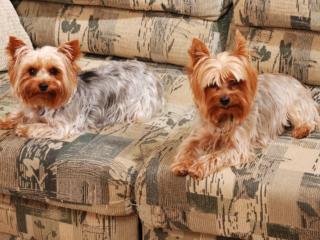 Two Yorkies sitting on the couch