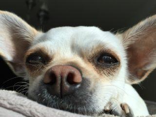 Chihuahua face closeup