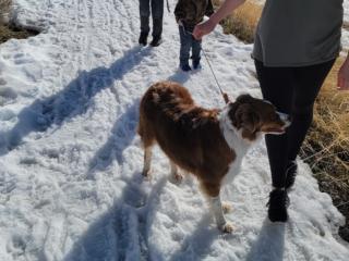 Border Collie on Walk through snow