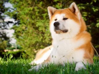 Akita Staring