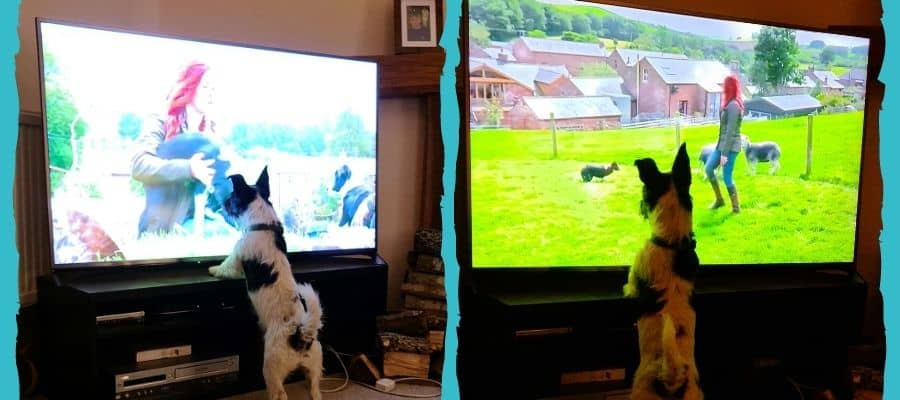 Jack Russell standing in front of the tv screen watching a show about dogs.