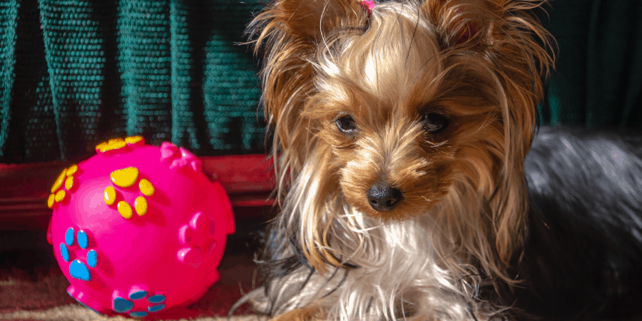 Yorkie sitting next to a bright pink ball