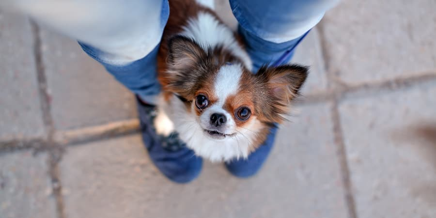 Chihuahua hiding between owners legs looking up at them.