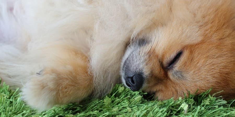 Pomeranian Sleeping