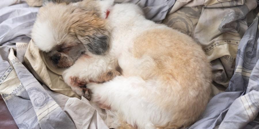 Shih Tzu Sleeping in Bed