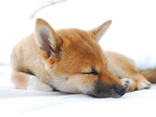 Shiba Inu Sleeping
