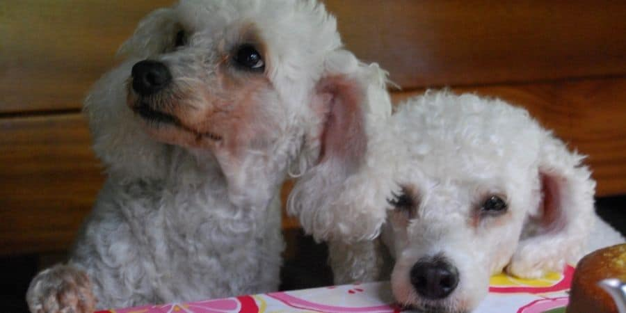 Two Poodles sitting at a table looking sad