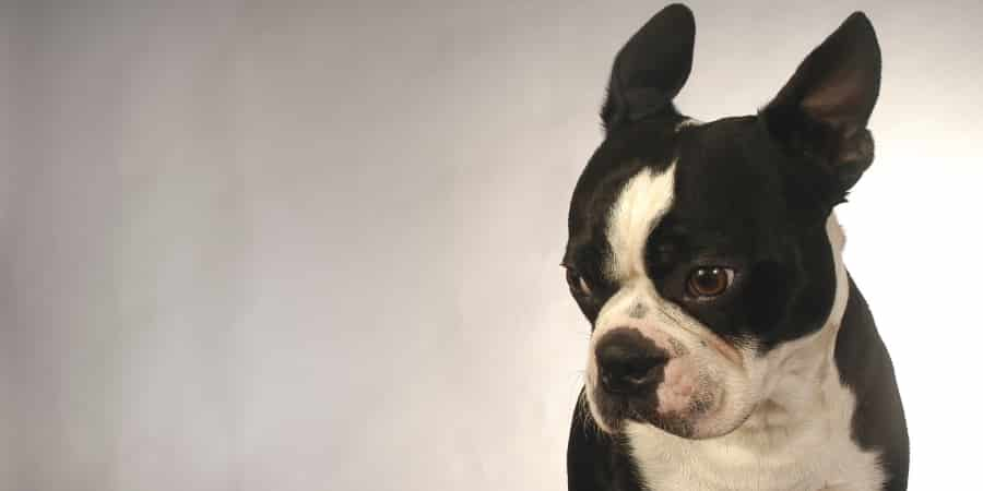 Boston Terrier Glaring
