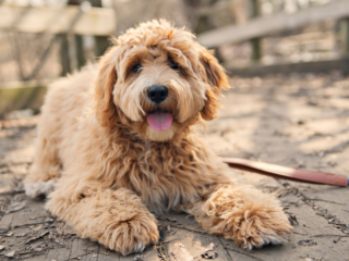 Goldendoodle looking towards the camera