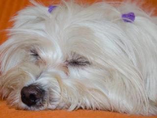 Maltese sleeping