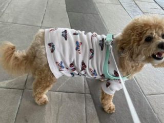 Maltipoo in a butterfly shirt