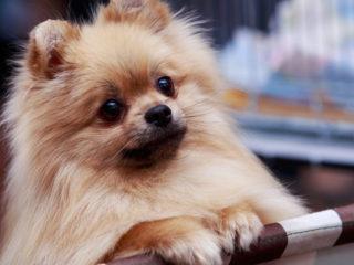 Pomeranian staring