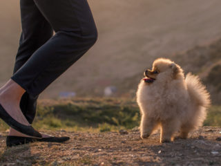 Pomeranian running with owner