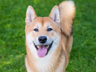 Shiba Inu with tongue out
