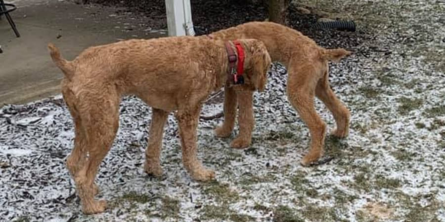 Goldendoodle with docked tail
