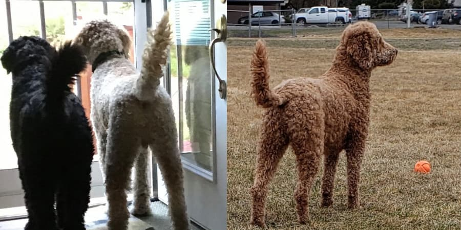 Goldendoodles with bottle brush tails