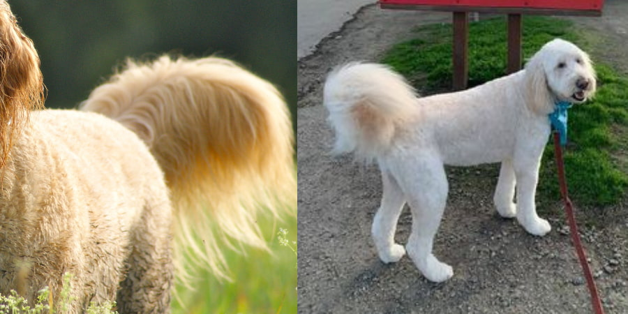 Golden doodle with long and natural fluffy tail