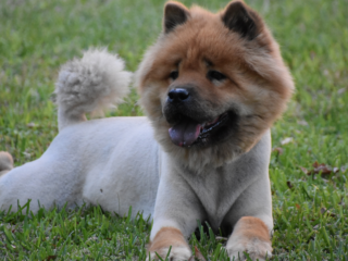 Chow Chow Shaved