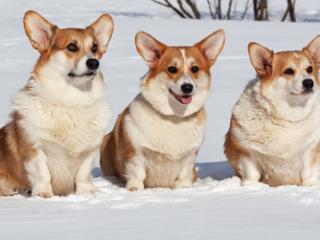 Three Corgis sitting in the snow