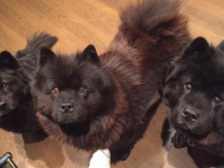 3 black chows staring