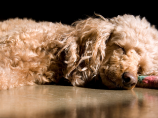 Poodle sleeping on the ground