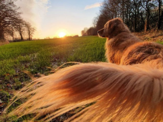 Golden Retriever Tail in the Sunset