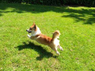 Corgi with long tail running