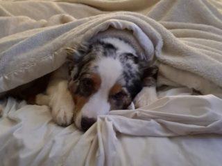 Australian Shepherd sleeping in bed