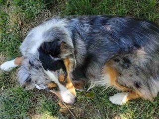 Australian Shepherd laying on the grass