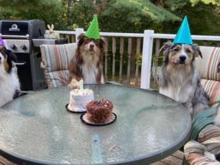 4 Australian Shepherds having a birthday party