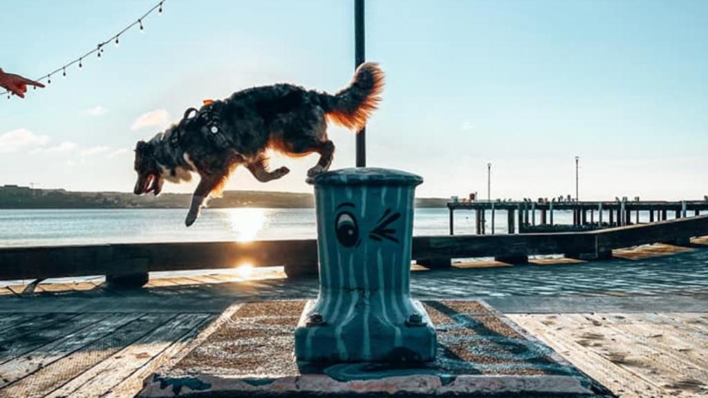 Australian Shepherd jumping in the sunset