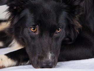 Sad Australian Shepherd