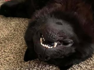 Chow Chow upside down smile